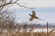 Pheasants on Audubon Wildlife Refuge on Wednesday, Feb. 14, 2018.