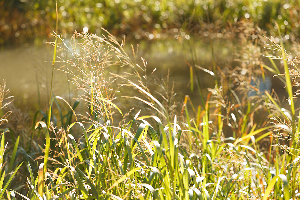 Grand Canal, 2012: Dublin, Ireland. The warm Autumn Sun shines through thr reeds and tall grass lining the side of the canal