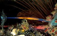 Janss' Pipefish (Doryrhamphus janssi)
