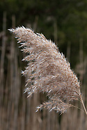 The seedhead of a tall reed stands above the marsh along the bank of Quivet Creek.