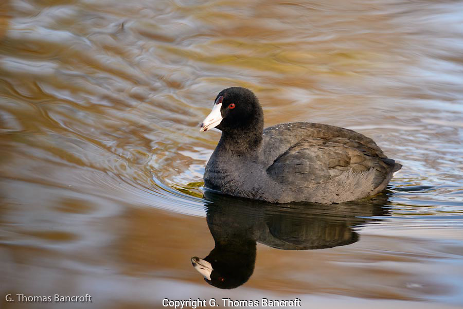 The golden light of the morning sun highlighted the feathers of the Coot and created a stunning reflection