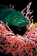 UNDERWATER MARINE LIFE EAST PACIFIC: Northeast FISH: Prickle Back Family Steiaidae