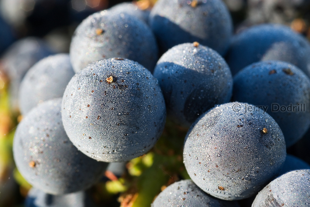 Cold grapes, just harvested at Red Car Wine's La Boheme Vineyard, located in the Sonoma Coast Appellation in Northern California. The cool coastal weather influence here is perfect for growing Pinot Noir wine grapes. The mornings are often cool and foggy while afternoon temperatures are warm but not too hot.