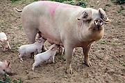 Outdoor free range pig farm, Hollesley, Suffolk, England