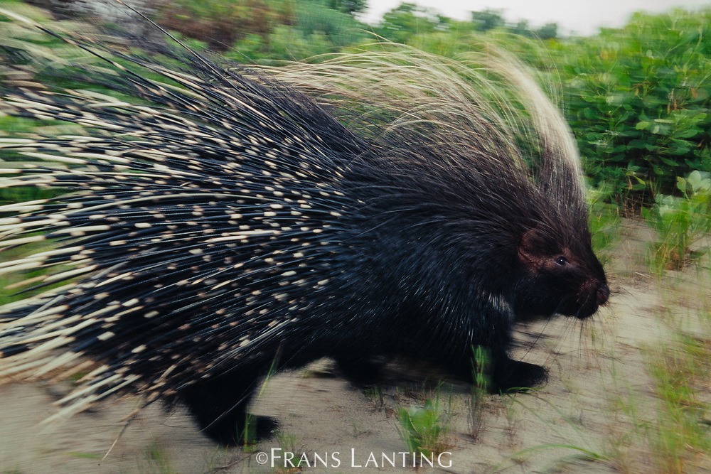 Cape porcupine, South Africa
