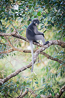 The dusky leaf monkey, spectacled langur, or spectacled leaf monkey (Trachypithecus obscurus) is a species of primate in the family Cercopithecidae. It is found in Malaysia and Thailand