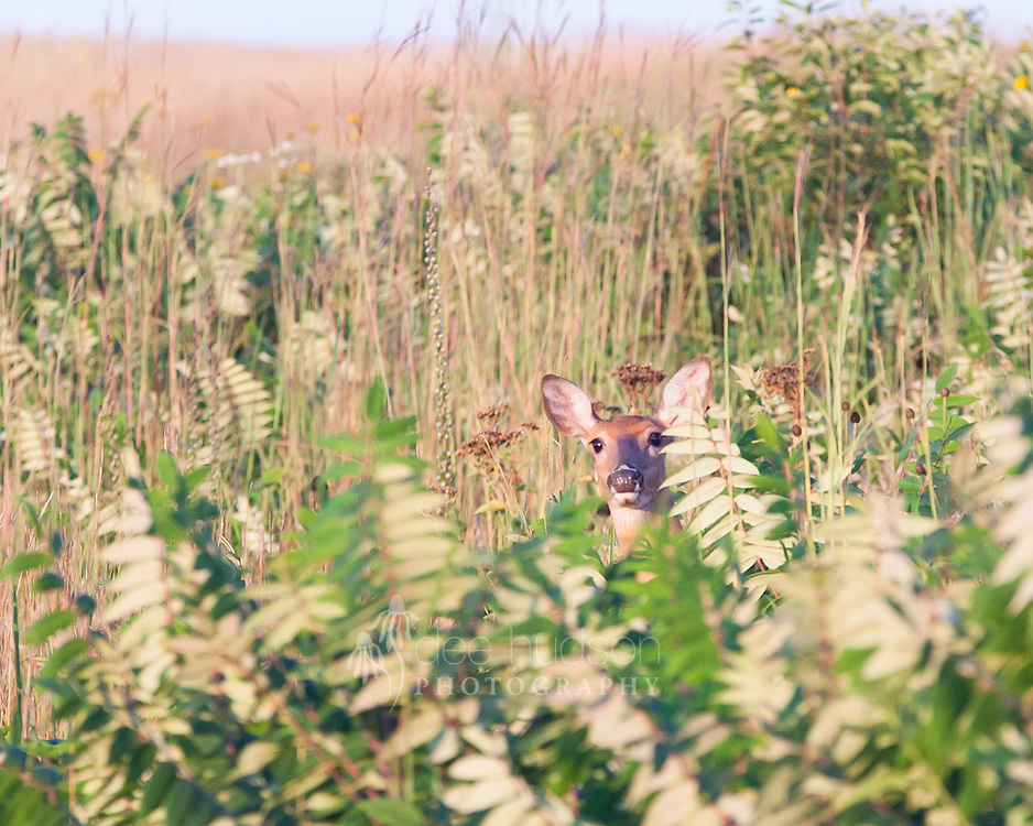 It is amazing how well the White&ndash;tailed deer can camouflage in the prairie for such a large mammal.<br /> <br /> White&ndash;tailed deer (Odocoileus virginianus)