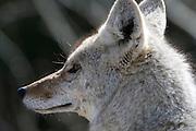 USA, Wyoming, Coyote, Yellowstone National Park