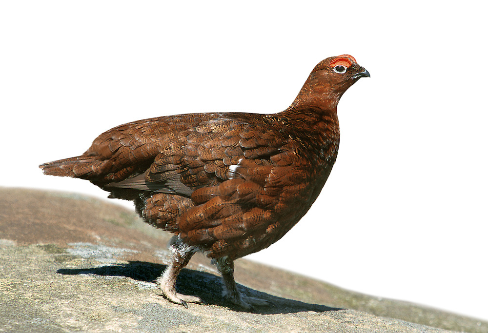 Red Grouse Lagopus lagopus scoticus L 37-42cm. Familiar moorland gamebird. If alarmed, takes to the air explosively; flight comprises bouts of rapid wingbeats and long glides on bowed wings. Both sexes have uniformly dark wings. Sexes are separable with care. Adult male has chestnut-brown plumage overall; fine feather markings visible at close range. Note red wattle above eye. Adult female has paler, more buffish grey and marbled plumage than male: well camouflaged when sitting on nest. Juvenile resembles adult female but with less well-marked plumage markings. Voice Utters a distinctive, go-back, go-back, go-back. Status Confined to heather moorland and feeds primarily on shoots of Heather and related plants. Moors are sometimes managed by selective burning for grouse (encourages young plant growth).