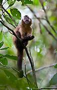 Ipaba _ MG, Brasil...RPPN (Reserva Particular do Patrimonio Natural) Fazenda Macedonia.  Detalhe de um filhote de Macaco-Prego (Cebus apella) em uma arvore...The RPPN (Private Reserve of Natural Heritage) Macedonia farm. In this photo, a Capuchins (Cebus apella) in a tree...Foto: JOAO MARCOS ROSA /  NITRO