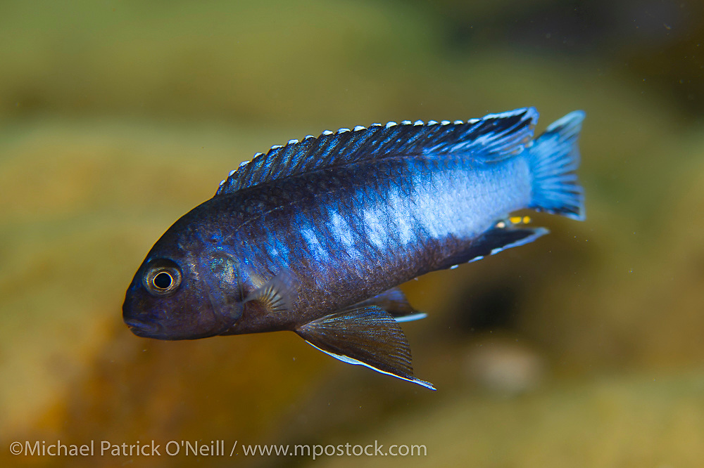A dominant male Pseudotropheus perileucos swims in the shallows of Likoma Island near Mango Drift. This small rock dwelling cichlid, or mbuna, lives among the rocky terrain and spends his time protecting his territory and luring females to it.