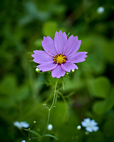 Violet Cosmos Flower. Image taken with a Leica TL2 camera and 60 mm f/2.8 macro lens.