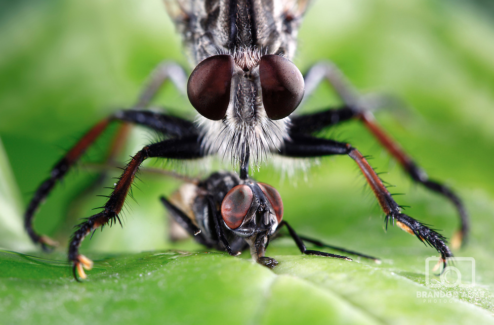 An extreme macro shot of a robber fly (Triorla interrupta) as it eats the insides of a common house fly. Robber fly's inject saliva containing neurotoxic enzymes which paralyze and digest the insides of its prey. It then sucks the liquified meal through its proboscis. Robber fly's are very aggressive hunters and will hunt other flies, beetles, butterflies, moths, bees, dragon flies, wasps, grasshoppers, and some spiders.