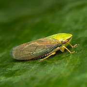 A leafhopper is the common name for any species from the family Cicadellidae. These minute insects, colloquially known as hoppers, are plant feeders that suck plant sap from grass, shrubs, or trees.