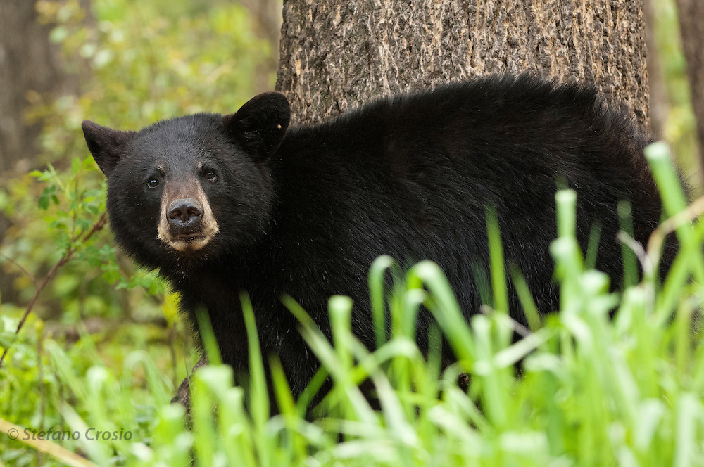 USA, Vince Shute Wildlife Sanctuary (MN).Black bear (Ursus americanus)