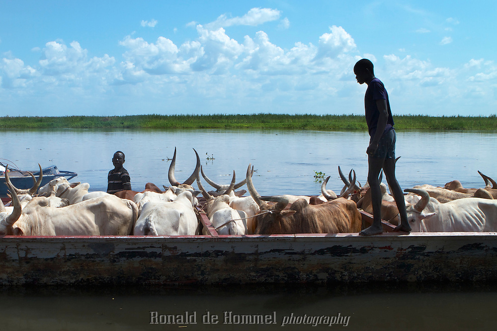 Cattle is transported by barge to higher ground. During the rainy season these barges are the only way to transport goods through the country apart from airplanes. Almost all roads in the country are impassable and cattle camps are flooded during the rains. Cities like Bor, the Capital of Jonglei State provide relatively safe shelter for the precious animals.