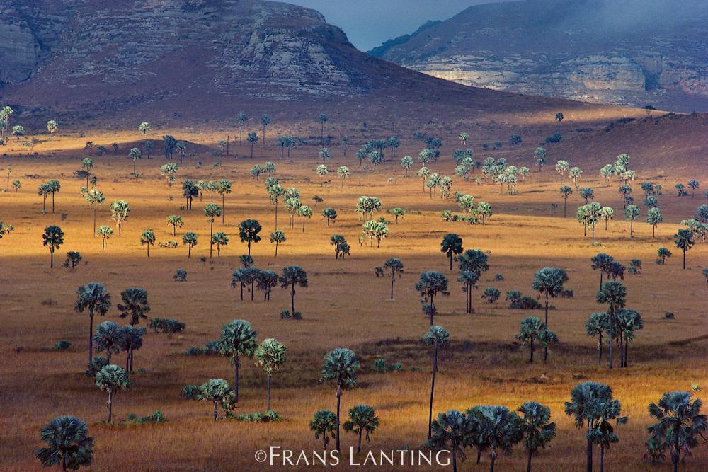Palm savanna, Horombe Plateau, Southern Madagascar