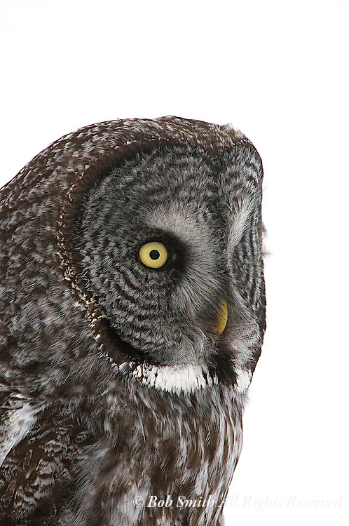 Great gray owl portrait in Jackson, WY during spring 2011.