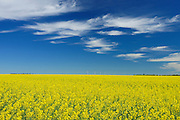 Canola crop and clouds<br /> Somerset<br /> Manitoba<br /> Canada