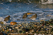 A trio of turnstones strolls along the beach looking for lunch