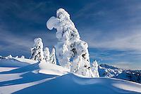 Mountain Hemlocks (Tsuga mertensiana) enscrusted in snow and ice on Kulshan Ridge, Heather Meadows Recreation Area North Cascades Washington USA
