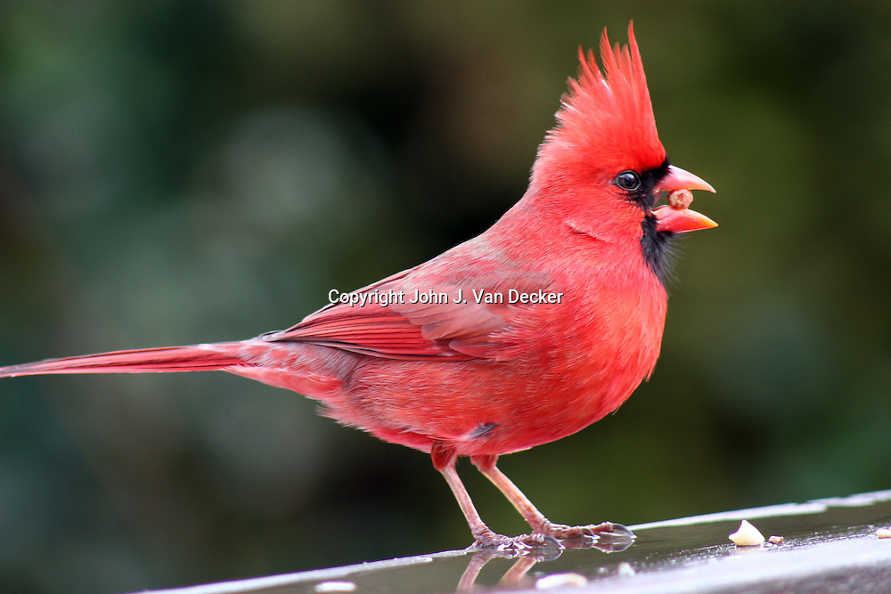 Northern Cardinal, Cardinalis cardinalis, male, with nut in beak..