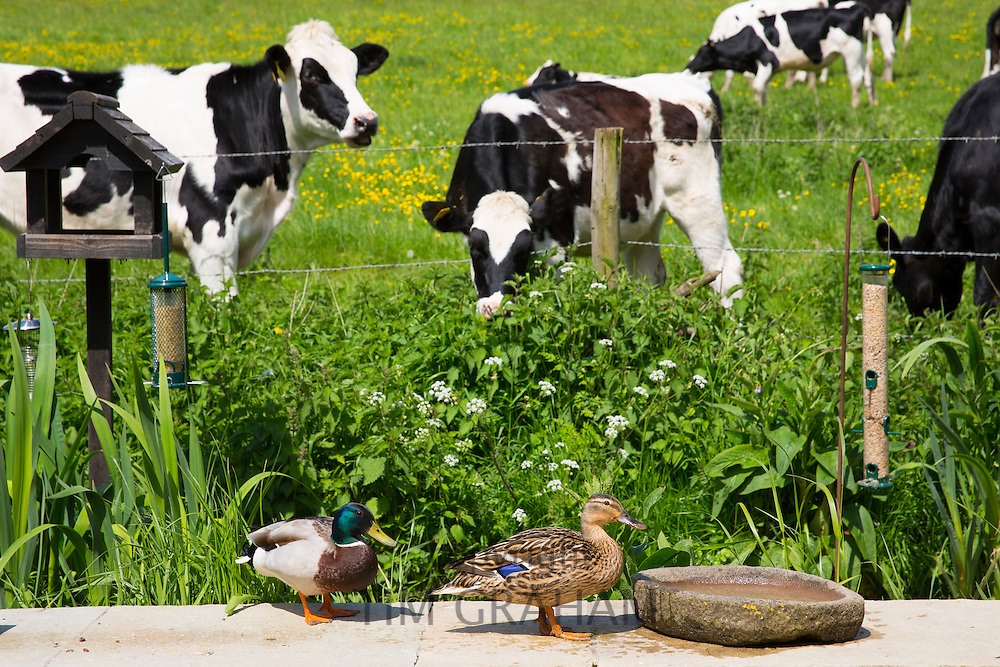 Friesian cows peering through barbed wire at ducks feeding in a country garden pastoral nature scene, The Cotswolds, UK
