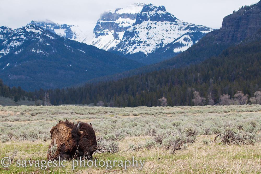 Bison in Round Prairie.
