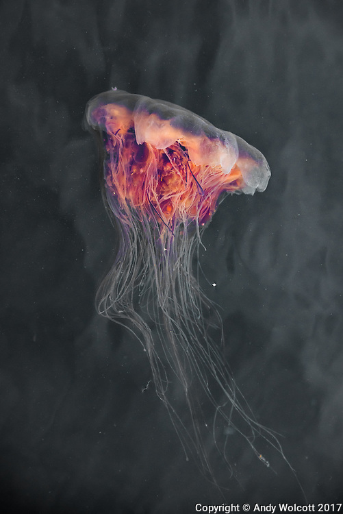 Lion's Mane Jellyfish, Klemtu, British Columbia