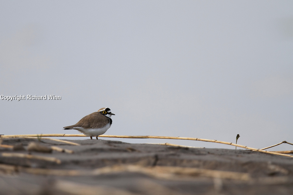 Little ringed plover on the mud margins of the tidal section of the River Parrett at Chilton Trinity, near Bridgwater.