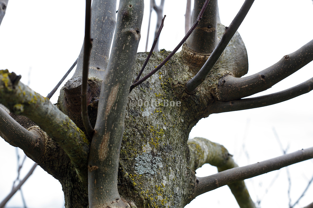 close up of a topped walnut tree trunk with large sprouting twigs