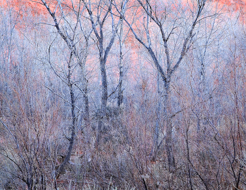 Last Evening Light on Cottonwood Trees in Long Canyon, Boulder, Utah