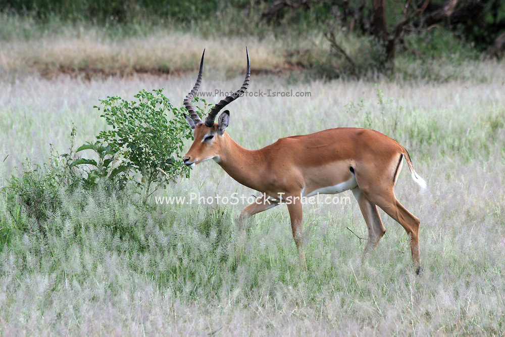 Africa, Tanzania, Lake Manyara National Park, side view of a male  impala (Aepyceros melampus)