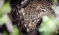 Leopard feasting on a kill in the Masai Mara, Kenya.