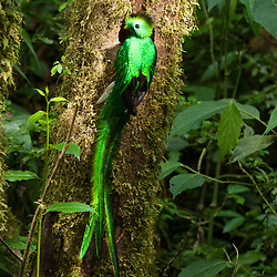 Entrace of a Quetzal nest, where the tail of the Male sticks out clearly. El Triunfo Reserve, Chiapas, Mexico