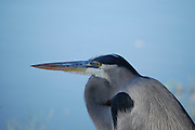 This is a photograph of a Great Blue Heron.