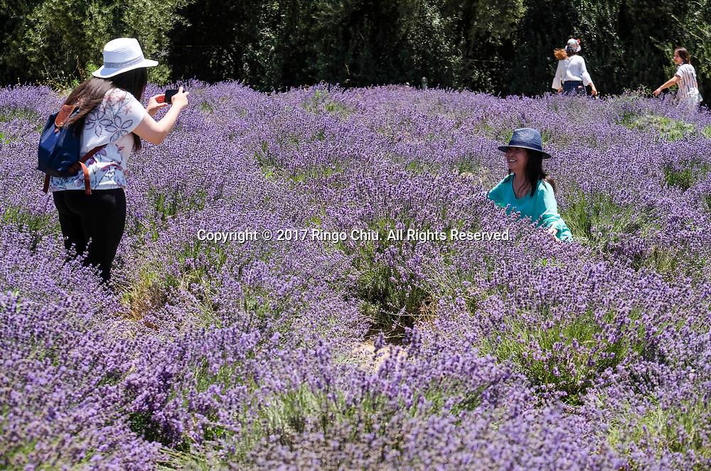 6月17日,民众观赏薰衣草。当日,在美国加利福尼亚州樱桃谷,举办了第十三届薰衣草节,吸引大批民众前往观赏。新华社发 (赵汉荣摄)<br /> People visit the blooming lavender in the fields at Highland Spring Ranch during the 13rd Annual Lavender Festival in Cherry Valley, California, the United States, June 17, 2017.(Xinhua/Zhao Hanrong)(Photo by Ringo Chiu)<br /> <br /> Usage Notes: This content is intended for editorial use only. For other uses, additional clearances may be required.