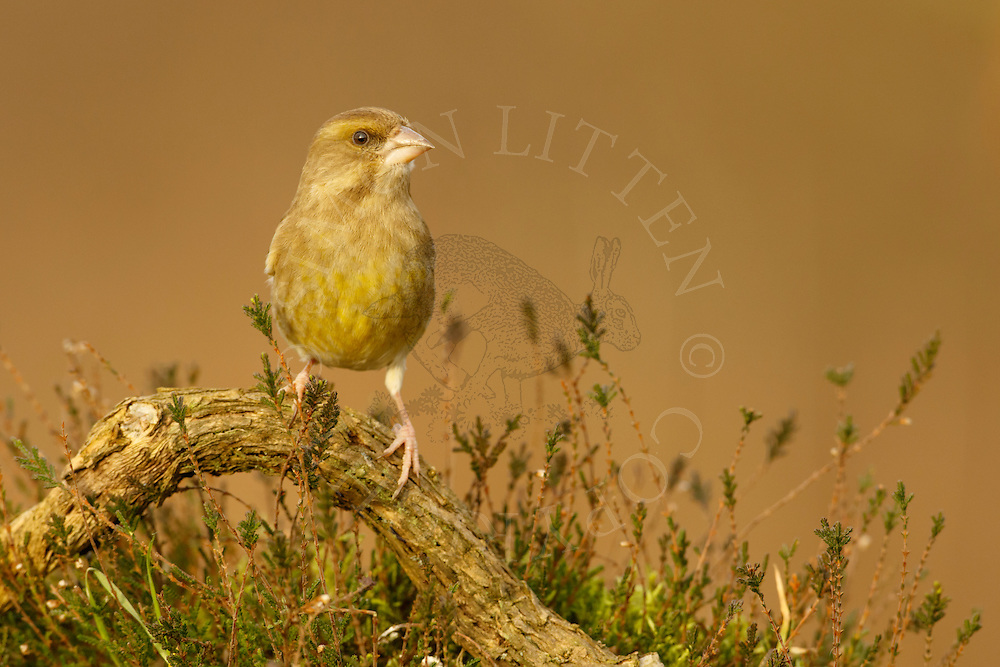 Greenfinch (Carduelis chloris) adult perched on fallen branch on heathland, Norfolk, UK.