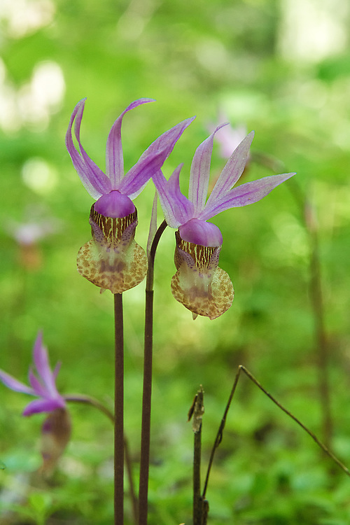 A pair of western fairy slipper orchids near the shore of Lake Cle Elum on the eastern side of Washington's Cascade Mountains.