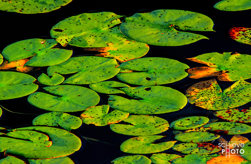 Lilly pads on lake.