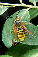 Lunar Hornet Moth - Sesia bembeciformis