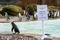 © Licensed to London News Pictures. 03/01/2013 London, UK. Penguin Beach at the annual stocktake of every animal at London Zoo, Regents Park, London. The compulsory count is required as part of the zoo's licence and every creature, great or small will be accounted for..Photo credit : Simon Jacobs/LNP
