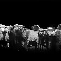 Sheep, Manawatu