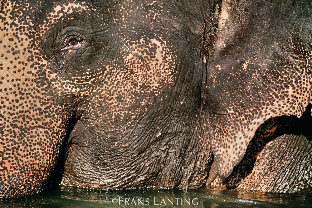 Domestic asiatic elephant bathing, Mudumalai Wildlife Sanctuary, Western Ghats, India