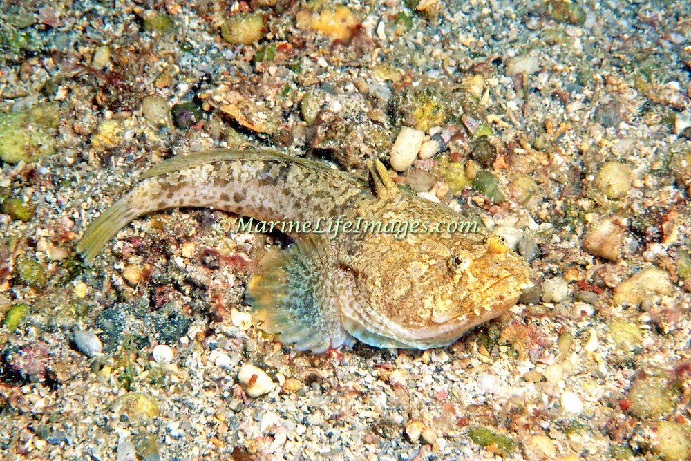 Sapo Cano inhabit areas of sand and rubble often bury with only eyes protruding in coastal Venezuela and offshore islands from Aruba and Bonaire to Tobago; picture taken Isla Cubagua, Venezuela.
