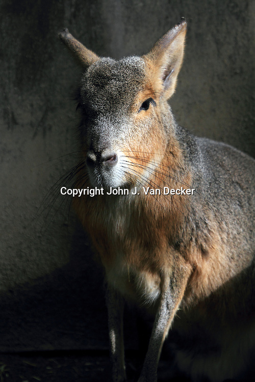 Patagonian Mara, Dolichotis patagonum, Cape May County Zoo, New Jersey, USA