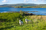 Ewe sheep with lamb, Ovis aries,  roaming freely on Isle of Skye in the Highlands and Islands of Scotland