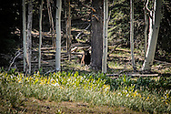 The mama bear we saw on my last morning in the Chuska Mountains.