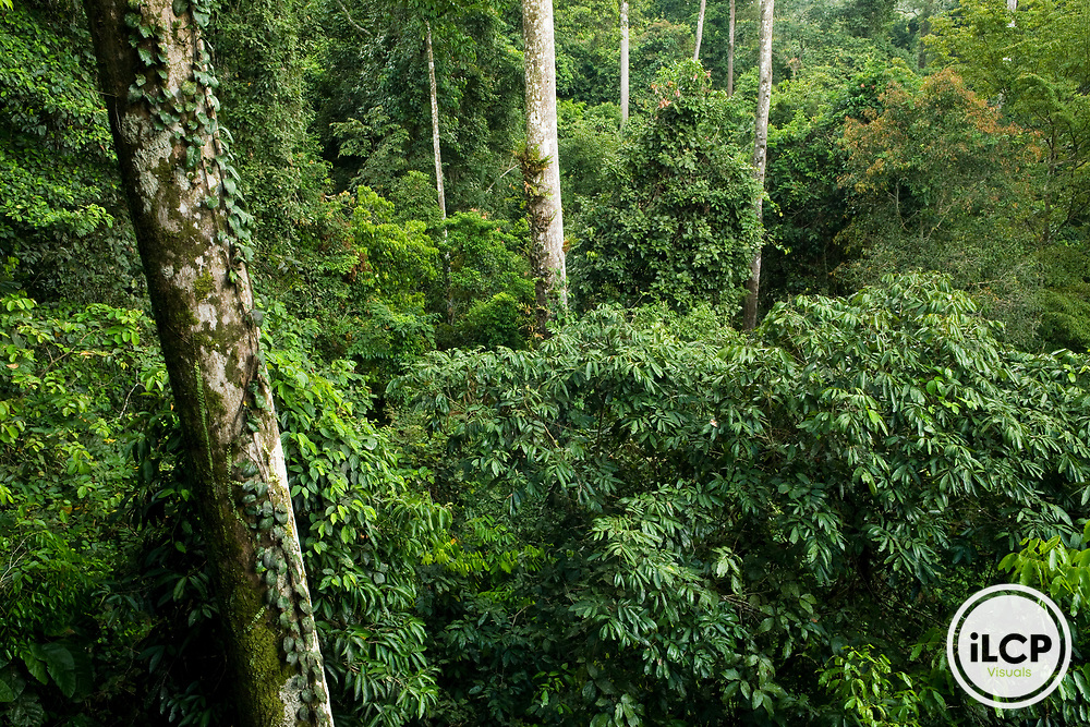 Lowland rainforest canopy, Danum Valley Conservation Area, Sabah, Borneo, Malaysia
