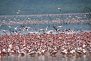 Flock of Lesser flamingos (Phoeiconaias minor) feeding in still lake, Lake Nakuru, Rift valley, Kenya, Africa.